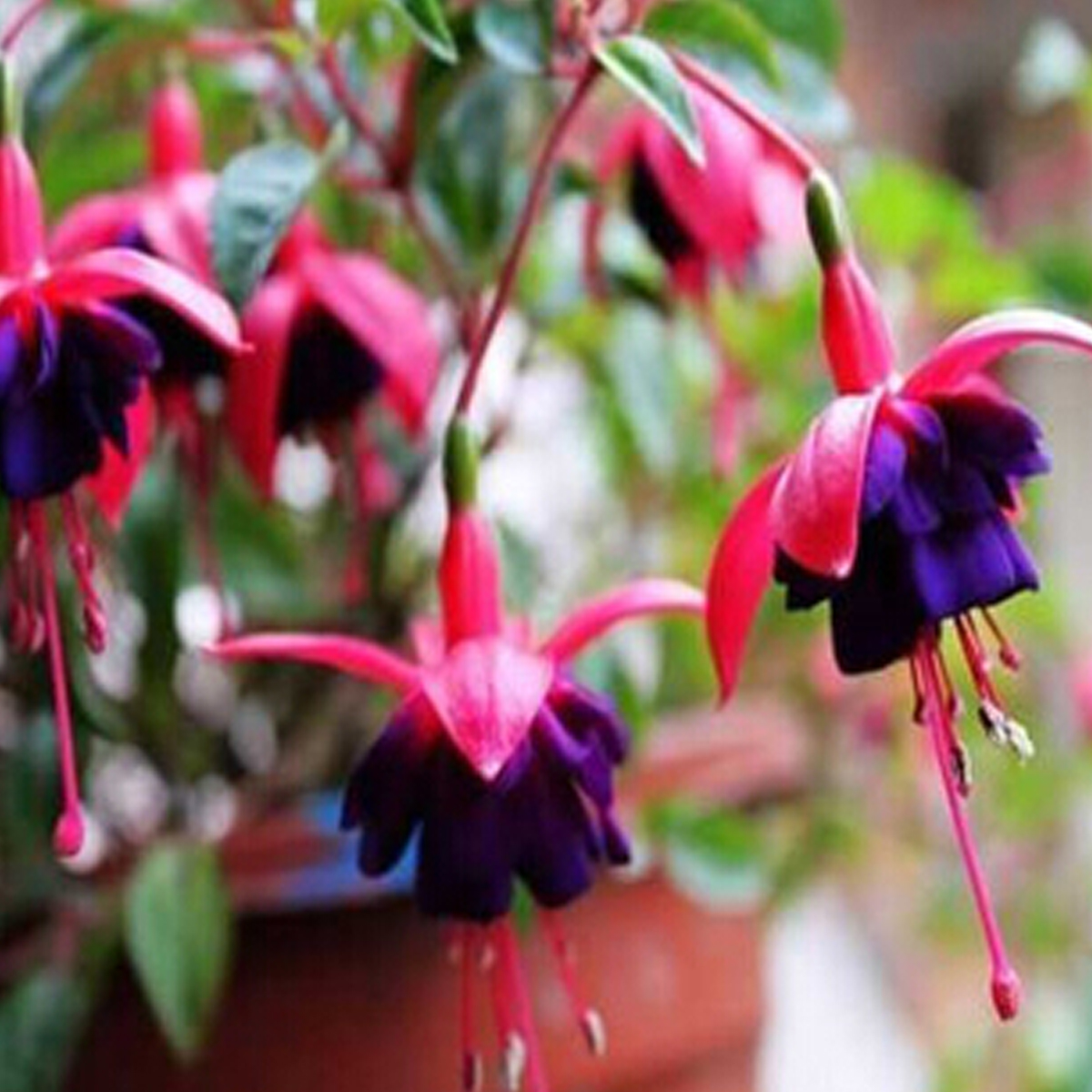 Semi di fiori campana fiore ebay for Semi di fiori