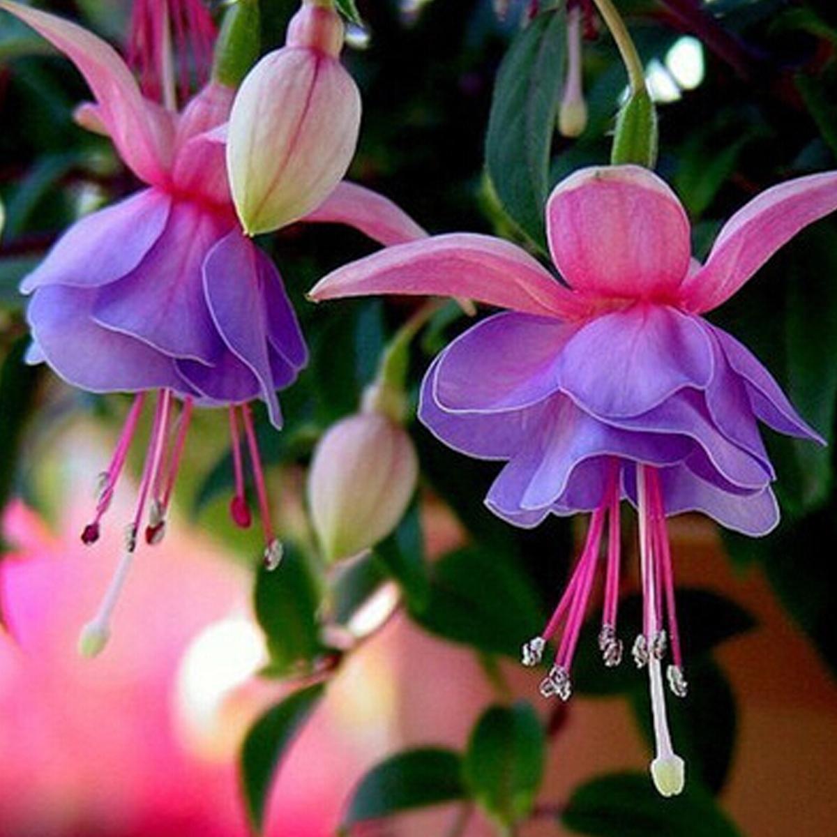 10 types Rare Flower Seeds Colorful Lantern Fuchsia Bell Home Garden Plant De