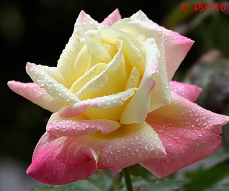 Colorful rainbow rare rose flower seeds home garden plant for Rainbow flower seeds
