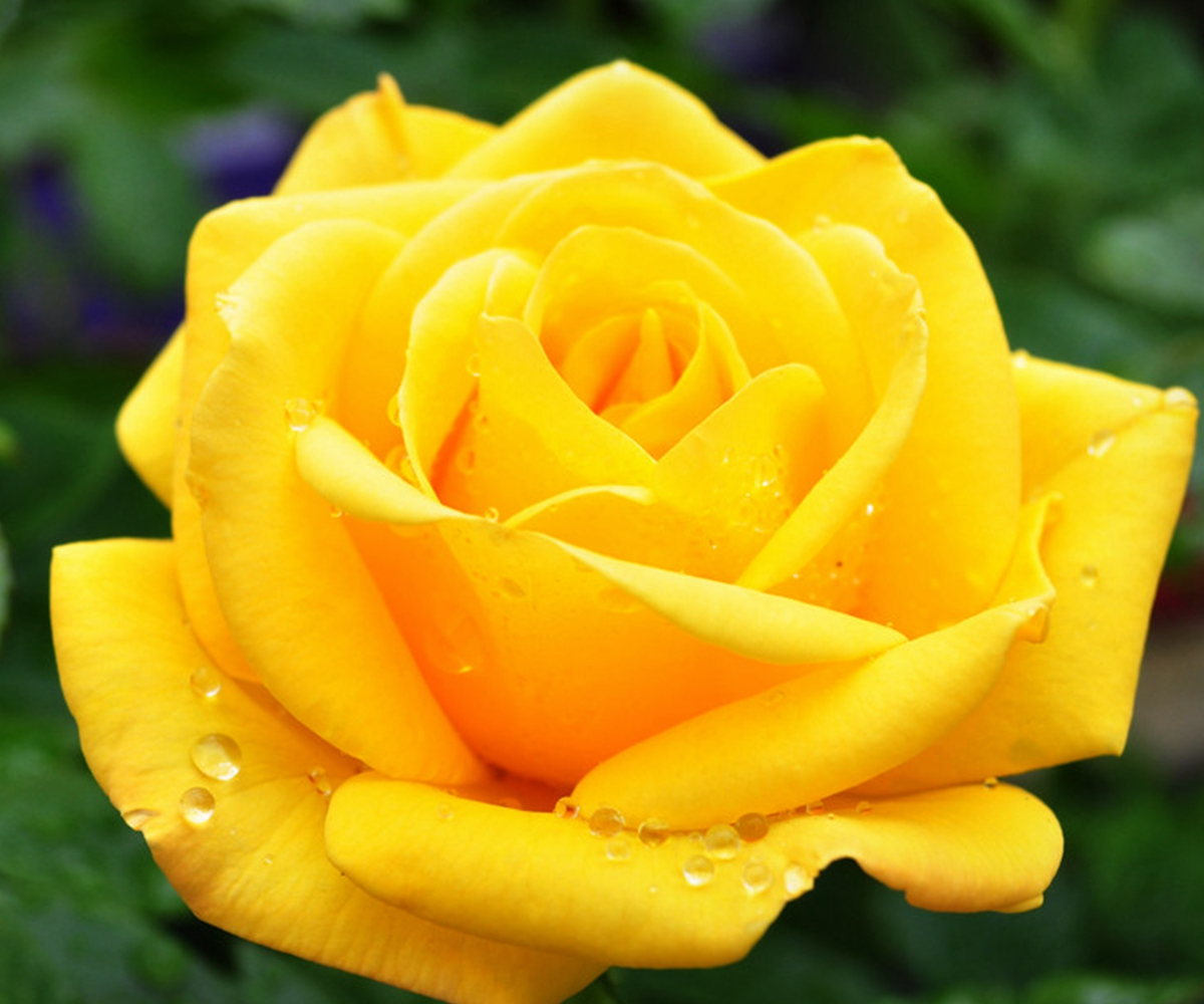 Colorful rainbow rare rose flower seeds home garden plant for How to plant rainbow rose seeds