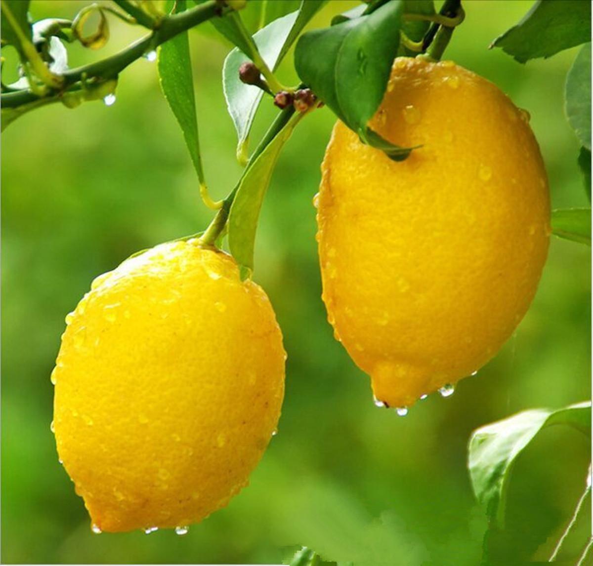 20x samen zitronenbaum zitronen saatgut lemon limone citrus verschiedene sorten ebay. Black Bedroom Furniture Sets. Home Design Ideas