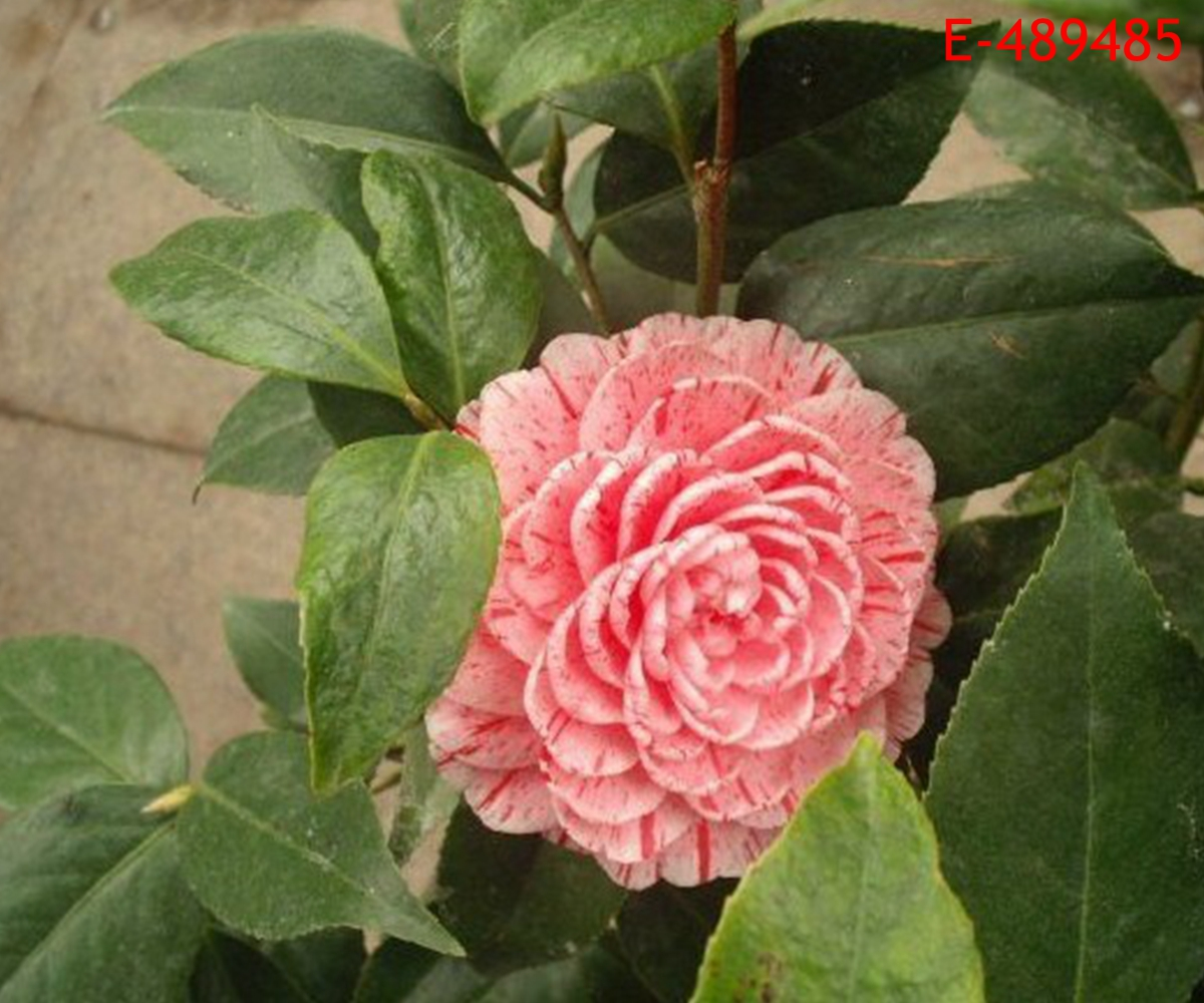 10 PCS Multifarious Camellia Japonica Tea Flower Plants Seeds Garden Home Decor