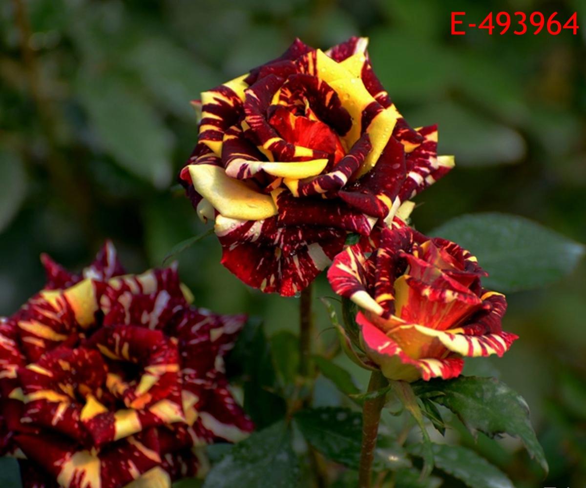 20 new rare meteor rainbow dragon rose flower seeds bonsai for Rainbow flower seeds