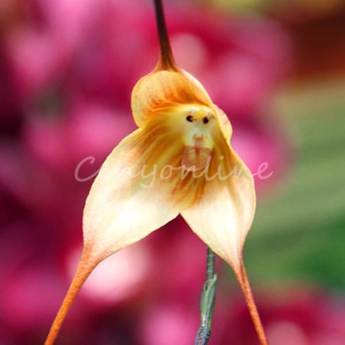 20 semi scimmia faccia bellissima orchidea dracula gigas for Semi orchidea