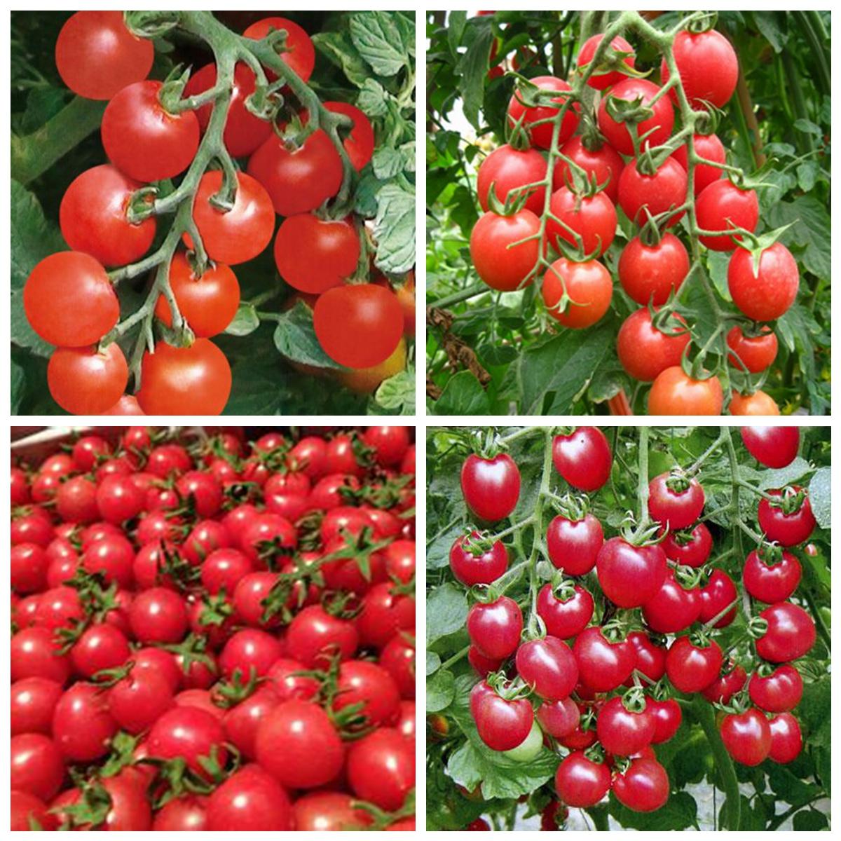 80 mini bonsai semillas de tomate cherry en maceta dulce - Tomates cherry en maceta ...