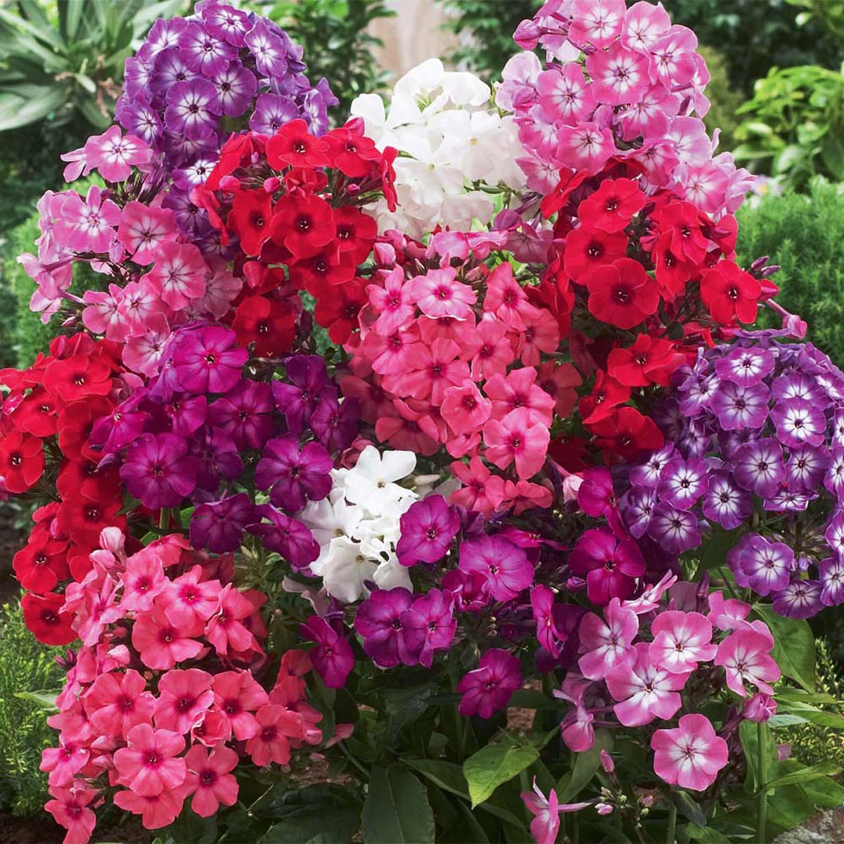 400Pcs PHLOX FLAME CORAL Tall Compact Fragrant Flowers Plant Seeds ...