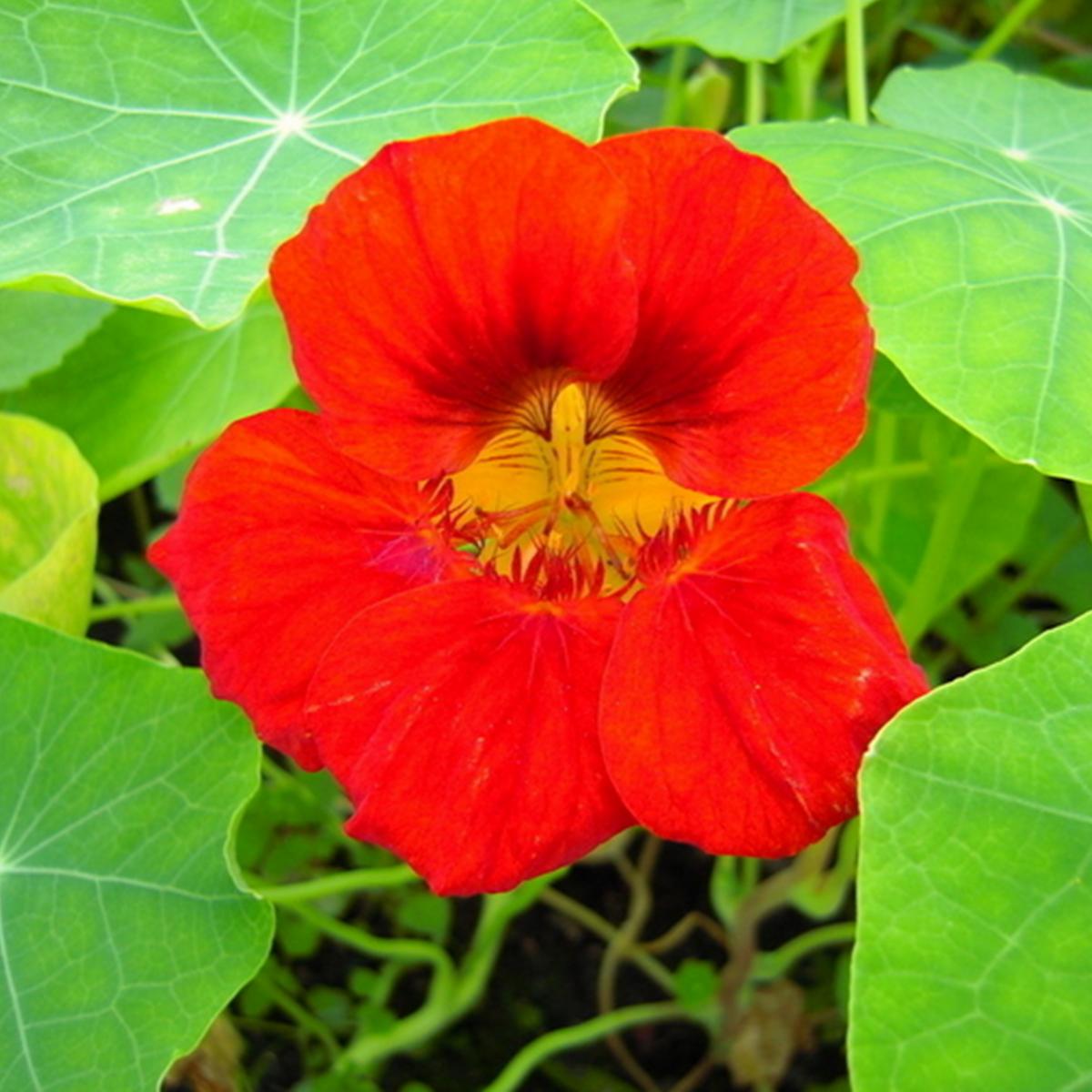 15PCS Perennial Garden Edible Plants Tropaeolum Nasturtium Mix Flower Seeds