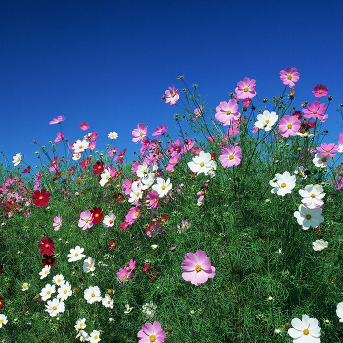 100 x cosmos bipinnatus perennial herbs garden park yard flower image is loading 100 x cosmos bipinnatus perennial herbs garden park izmirmasajfo