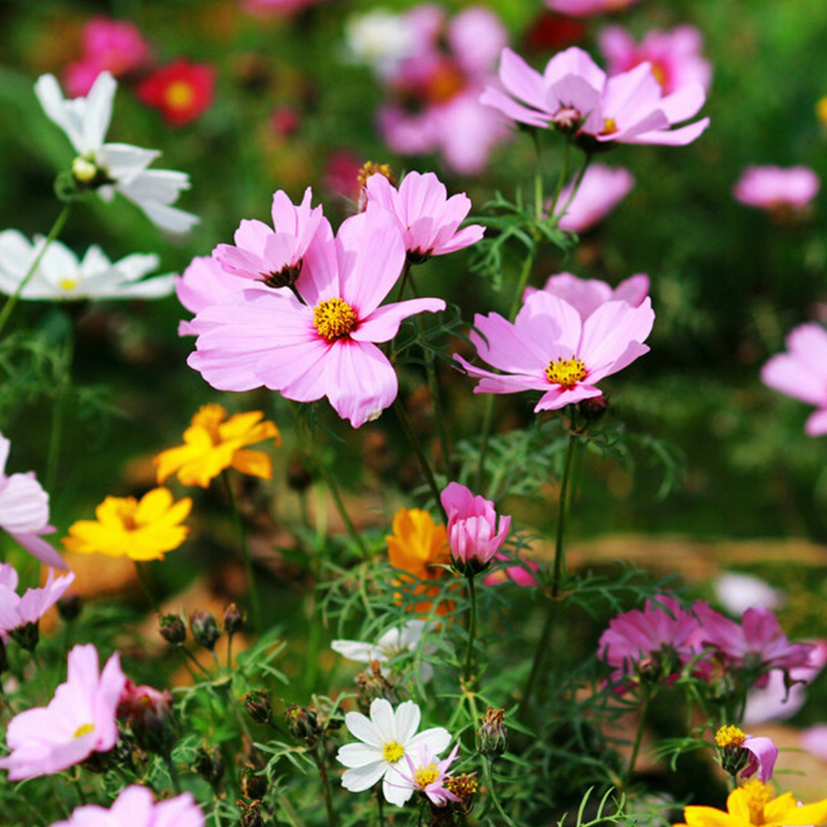 100 x cosmos bipinnatus perennial herbs garden park yard flower 100 x cosmos bipinnatus perennial herbs garden park mightylinksfo