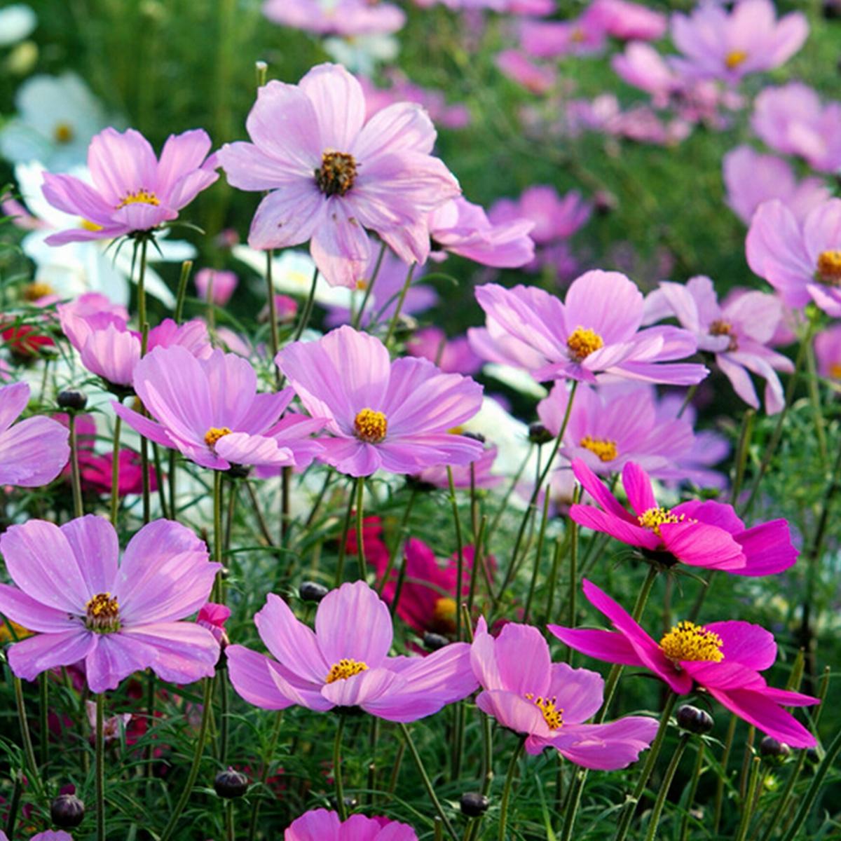 Космея, или Космос цветок: фото, выращивание и уход 75