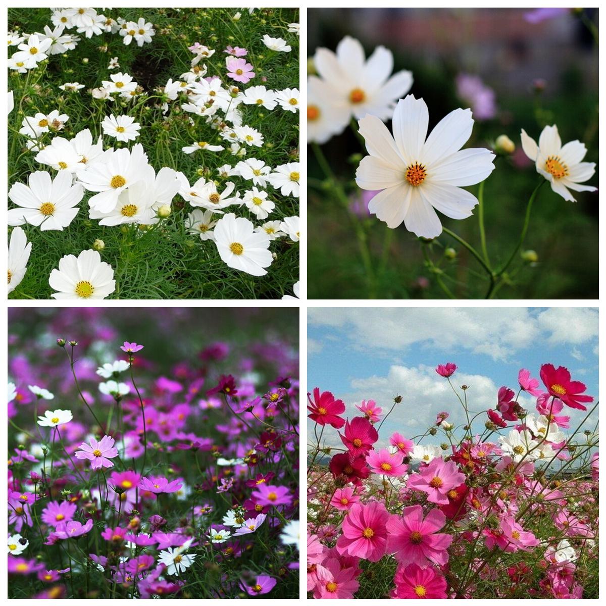 100 x cosmos bipinnatus perennial herbs garden park yard flower 100 x cosmos bipinnatus perennial herbs garden park izmirmasajfo
