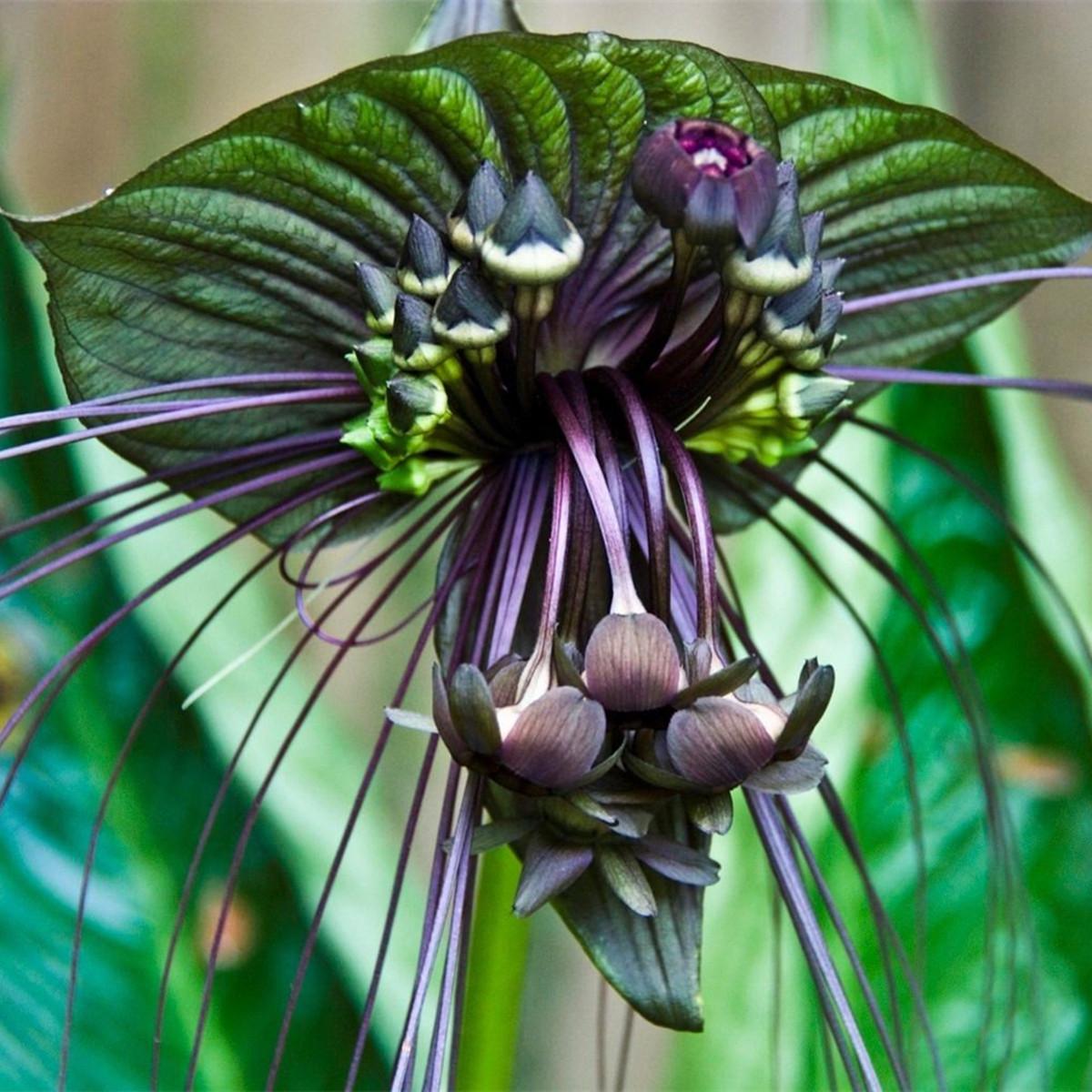 10Pcs Black Bat Tacca Chantrieri Cats Whiskers Flower Seeds Garden Bonsai Plant