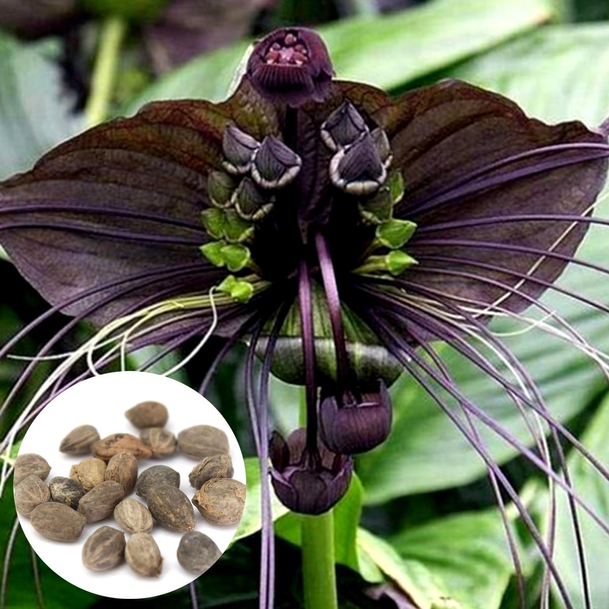 10Pcs Black Bat Tacca Chantrieri Cats Whiskers Flower Seeds Garden Bonsai Pla