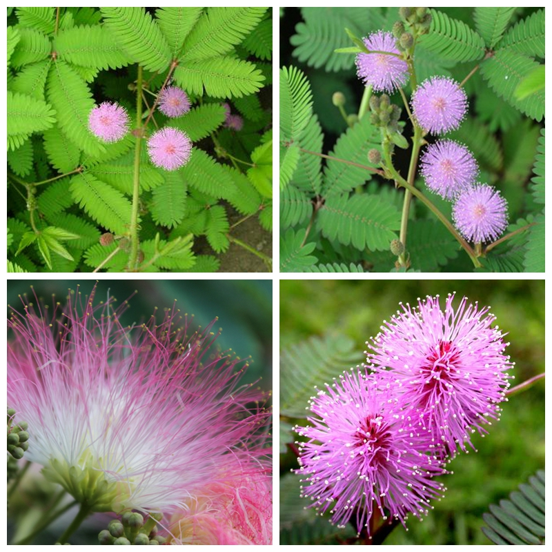 400 mimosa pudica seed sensitive splendid flower beautiful lovely popular plant ebay. Black Bedroom Furniture Sets. Home Design Ideas