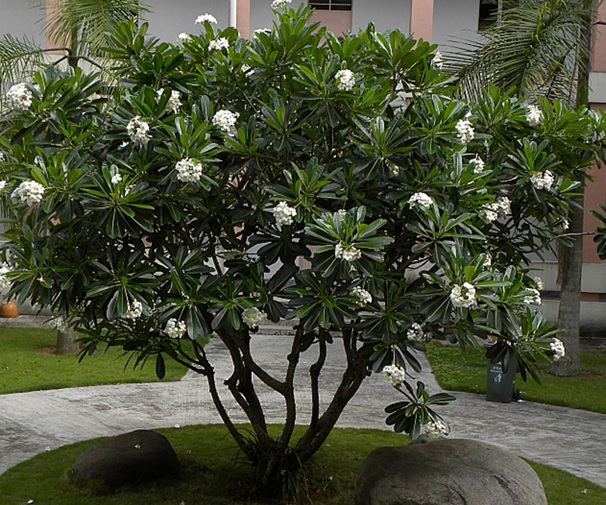 Leis Landscaping Yard : Fresh garden yard plant tropicals frangipani flower