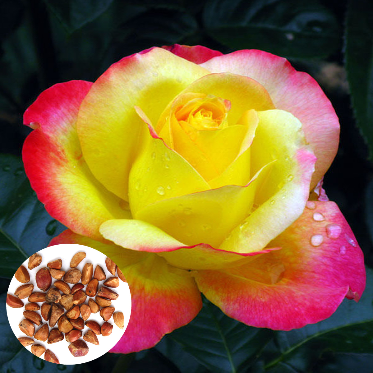 20pcs Seeds Rosa Chinensis Rose Bush Rosa Genus Flower
