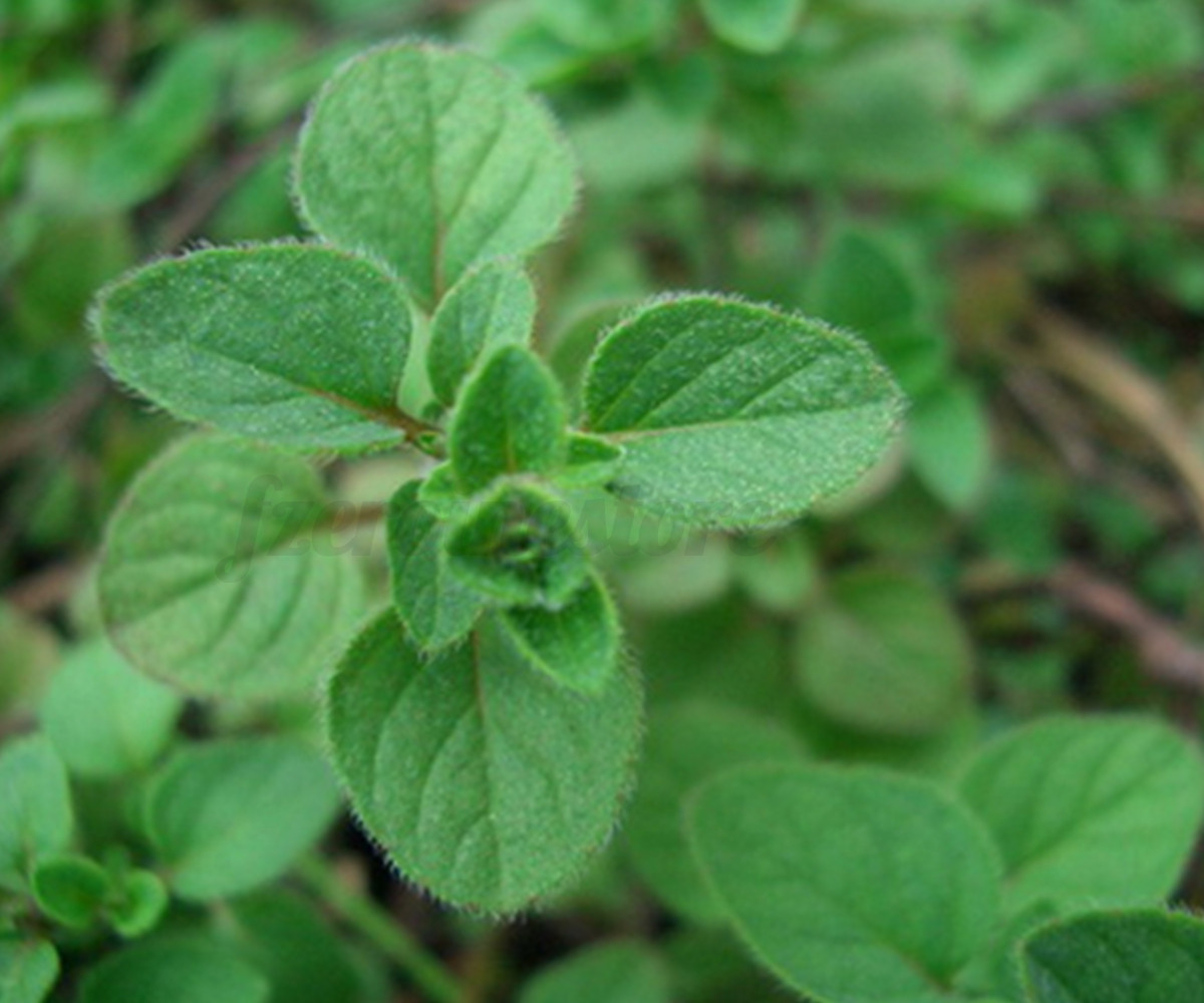 Za 39 atar zaatar plant seeds 100 seed bible hyssop syrian for Le plant