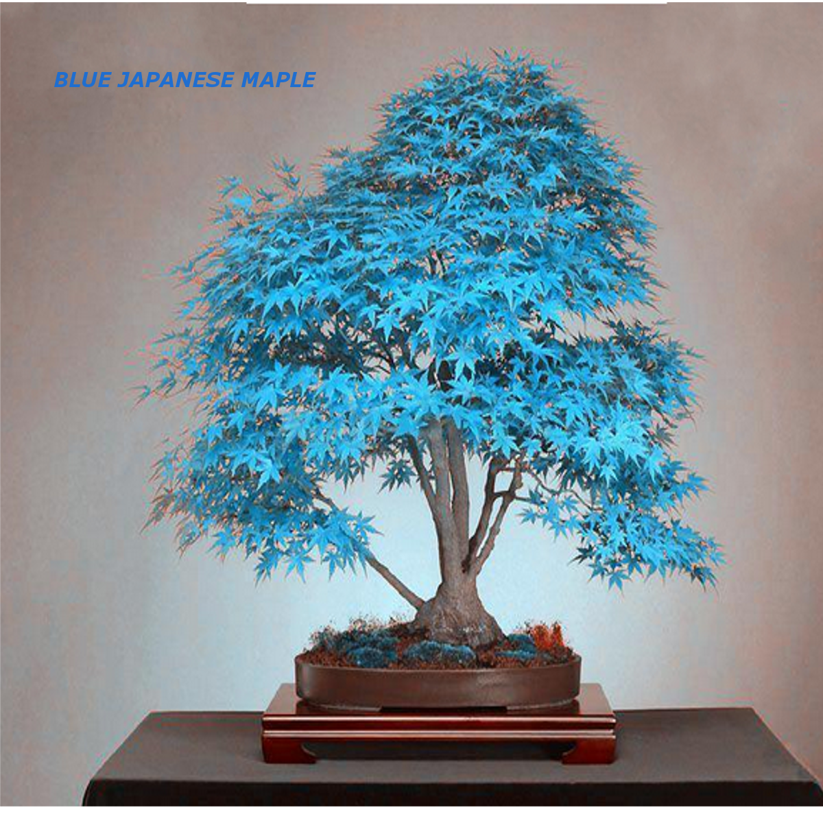 20pcs graines erable bleu japonais arbre plante bonsa for Arbre bonsai exterieur
