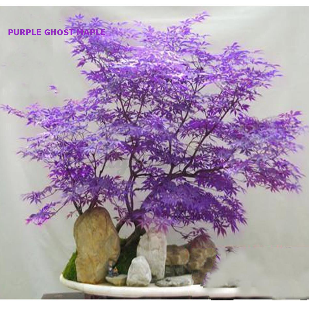 japonais graines erable violet fantôme bonsaï arbre plante palmatum