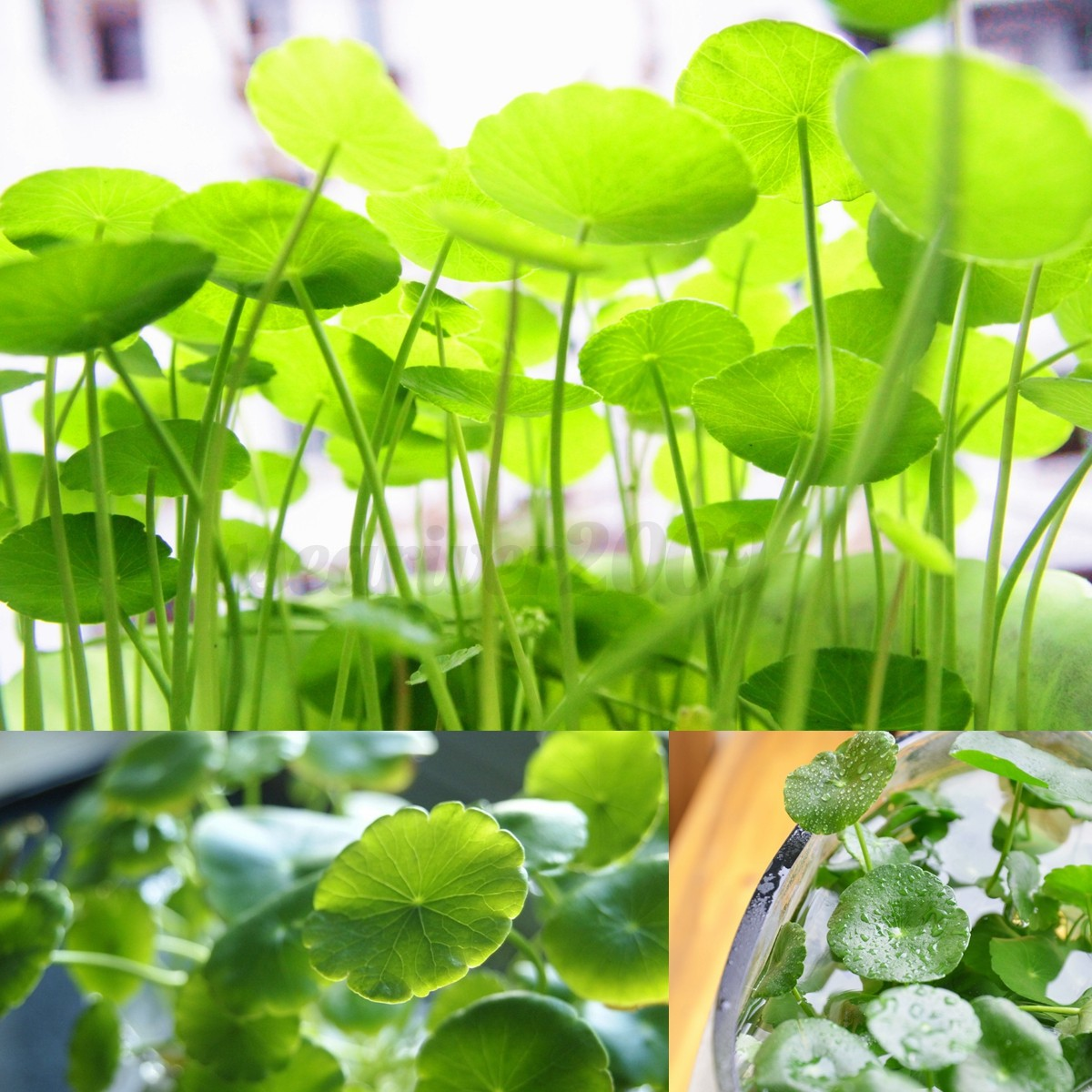 250x hydrocotyle vulgaris graines pilea seed aquarium for Racine pour aquarium
