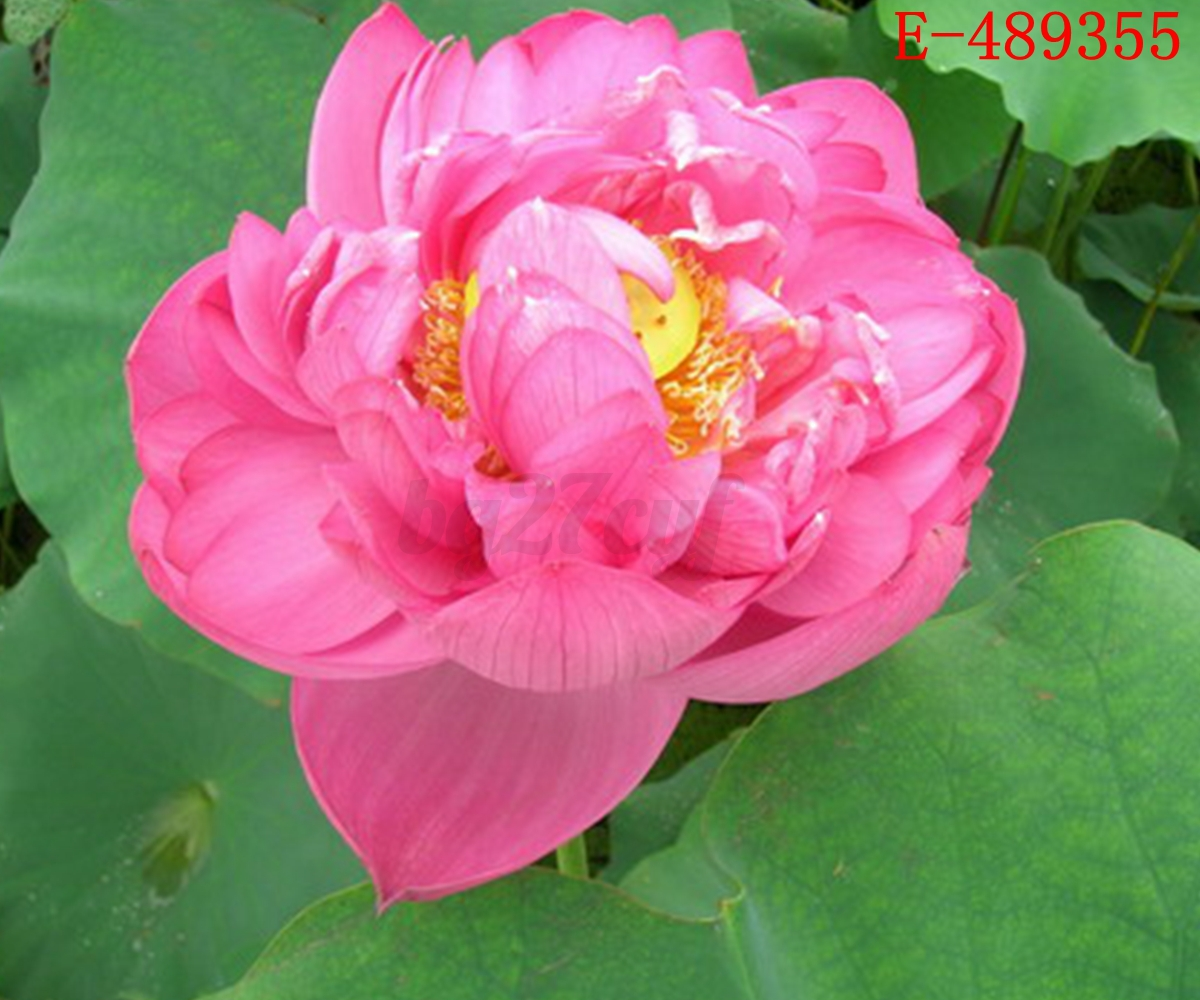 10x Water Lily Lotus Seeds Nelumbo Nymphaea Bowl Pond Flower Plant