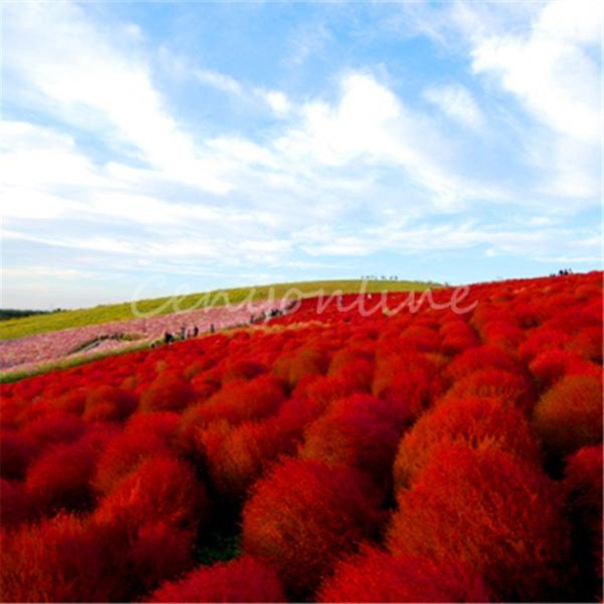 100x Heirloom Seed Grass Burning Bush Kochia Scoparia Red Flower