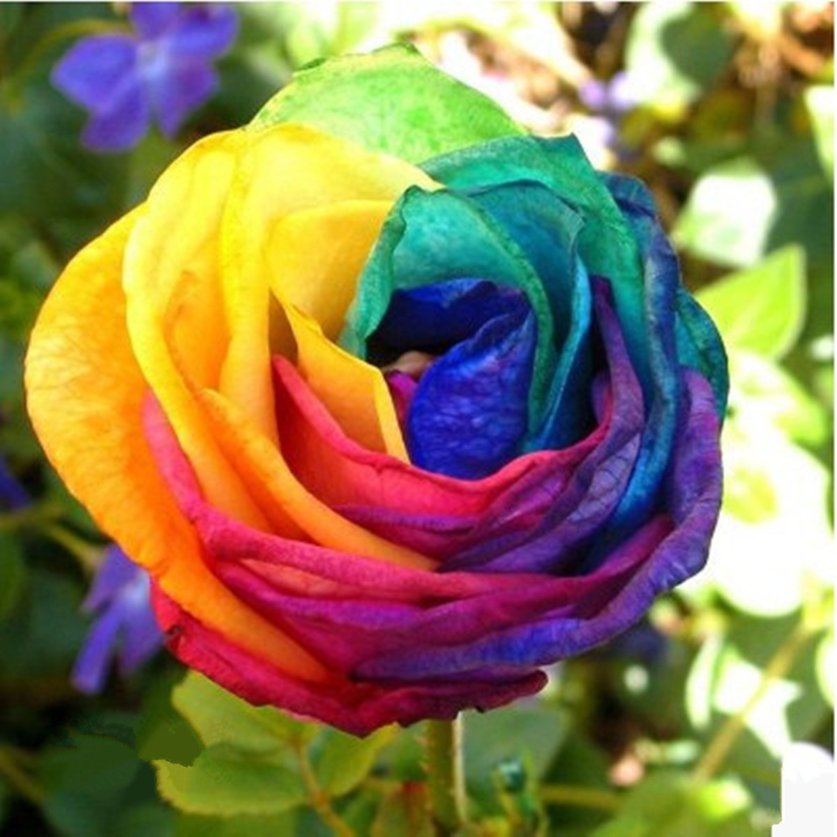How to grow rainbow rose flower seeds best flowers and for Growing rainbow roses from seeds