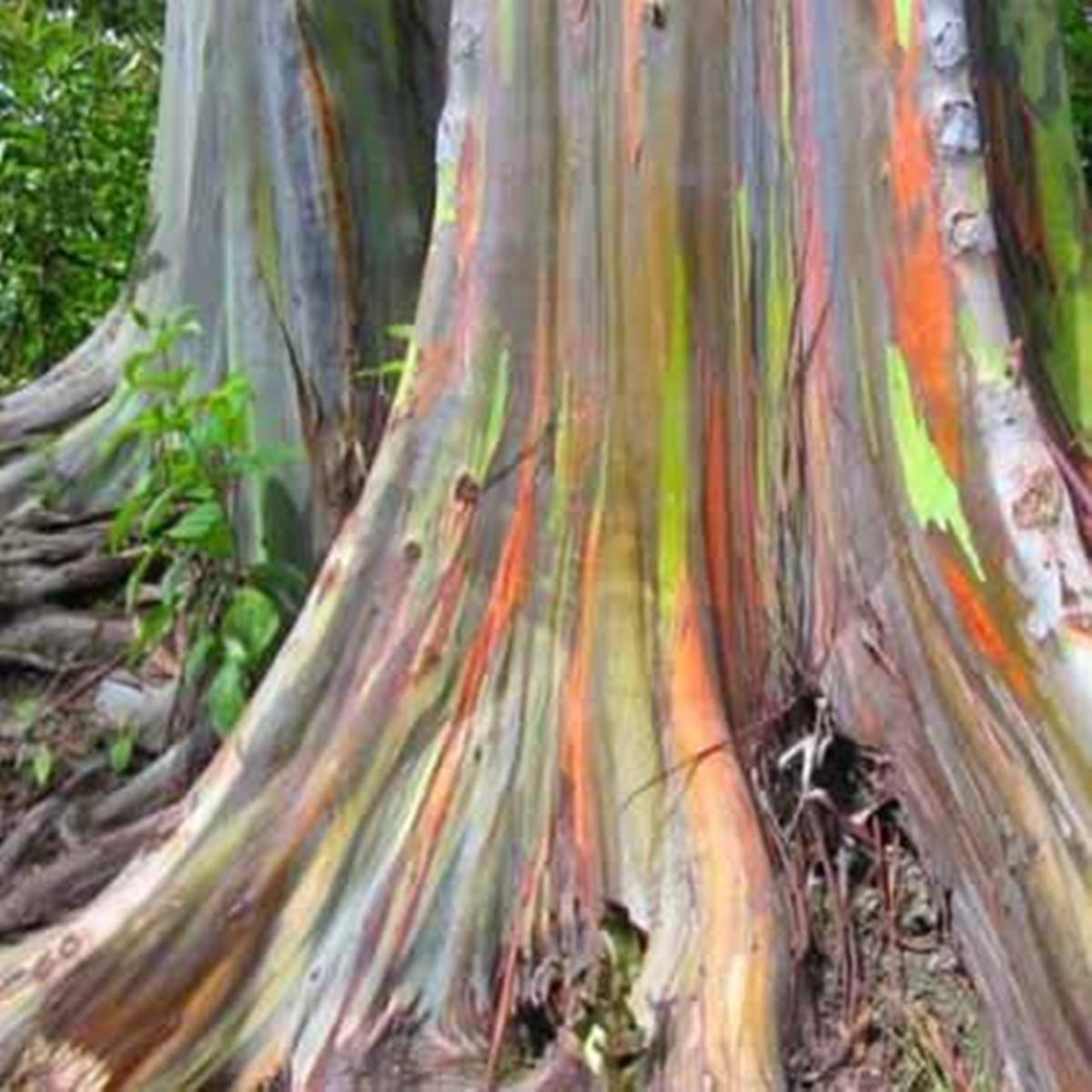 40x tree rainbow eucalyptus deglupta mindanao gum seeds. Black Bedroom Furniture Sets. Home Design Ideas