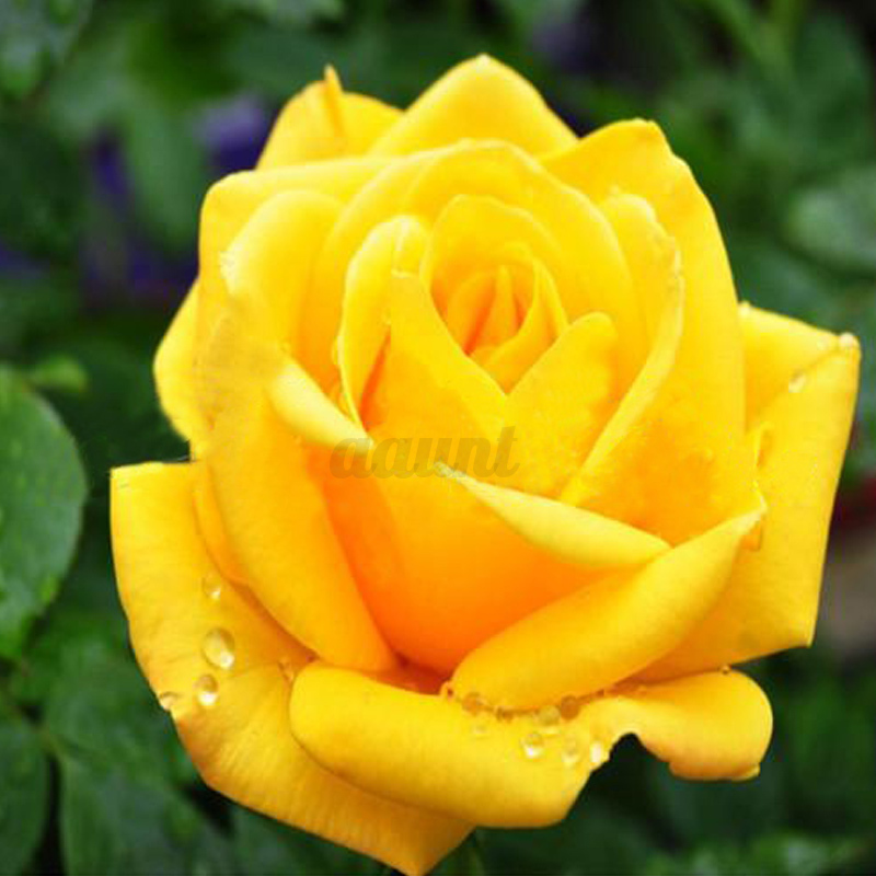 100 multi color beautiful colorful rainbow rose flower for Rainbow flower seeds