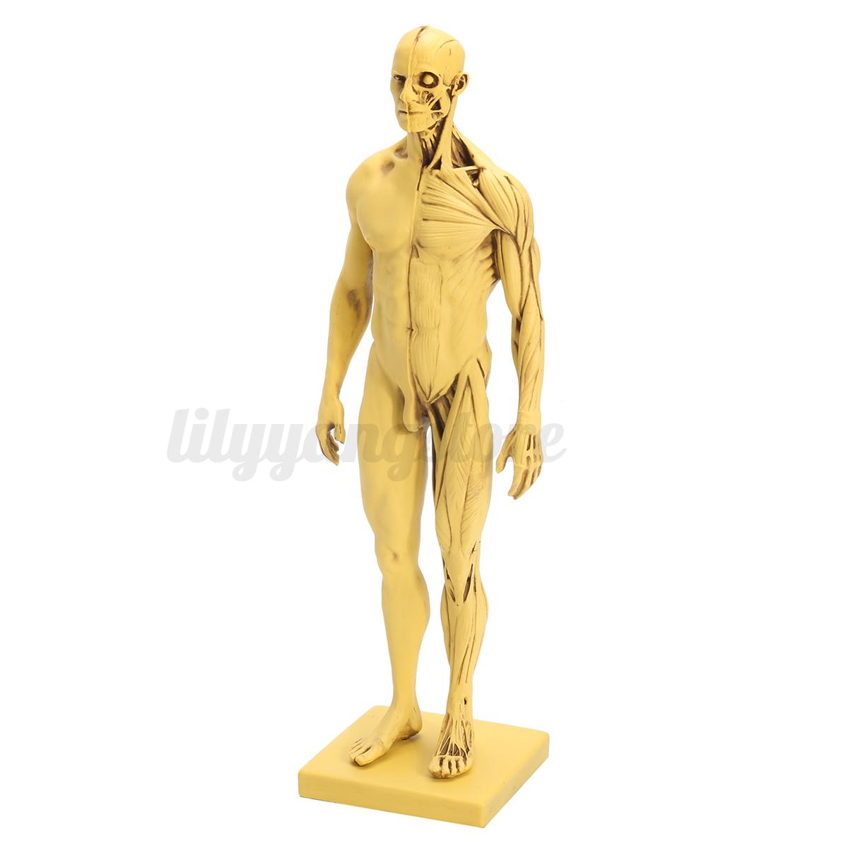 12 30cm Height Human Anatomical Anatomy Skull Head Muscle Bone
