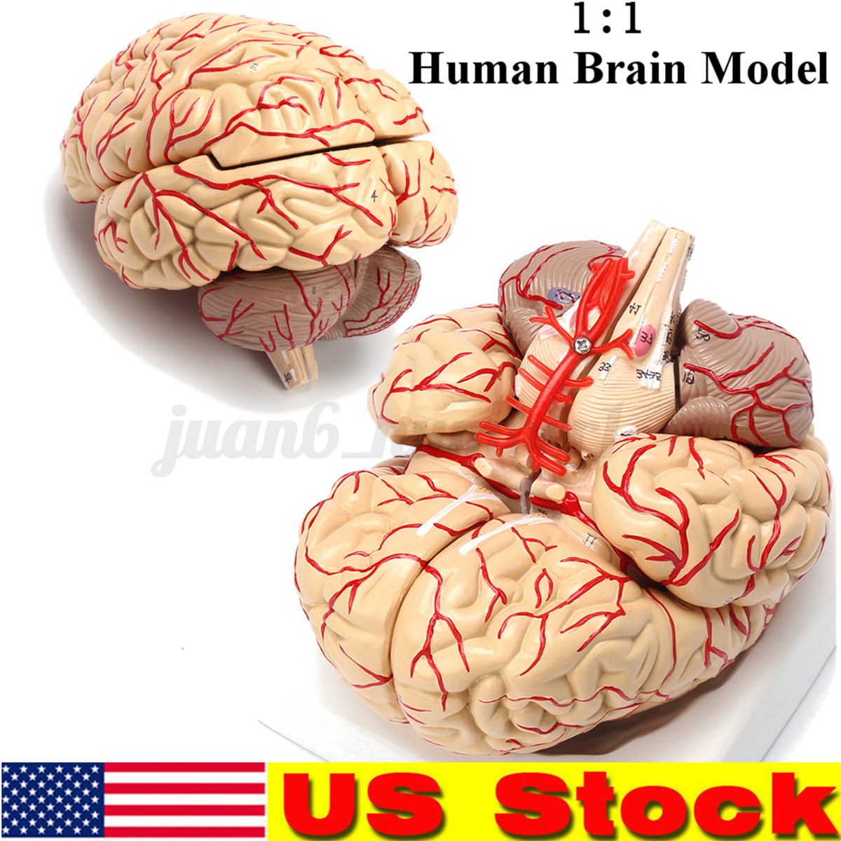 Details About Life Size Human Anatomical Brain Artery Anatomy Medical Teach Model Professional