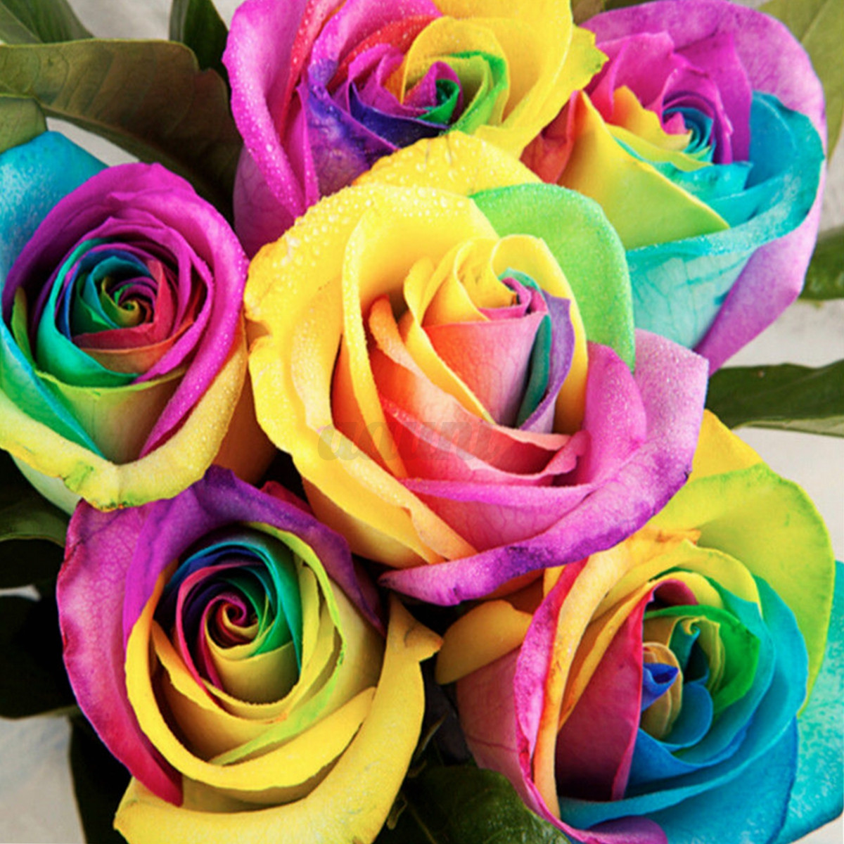 Beautiful Colorful Living Rooms: 100 Multi-Color Beautiful Colorful Rainbow Rose Flower